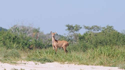 Pantanal Hirsch