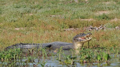 Pantanal Krokodil