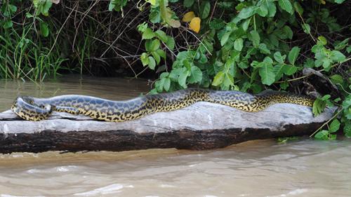 Pantanal Anaconda
