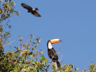 Pantanal Vögel