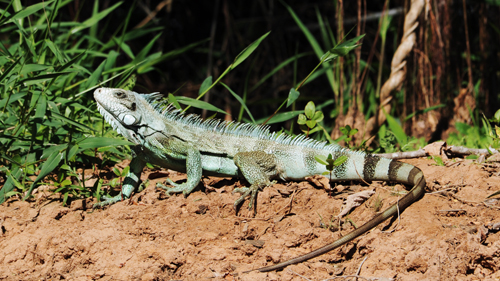 Pantanal Leguan
