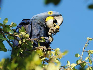 Pantanal Papagai