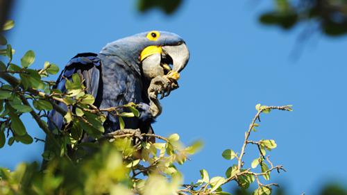Pantanal Papagei