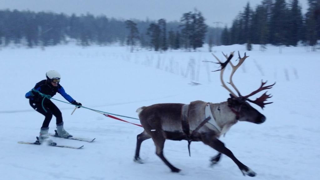 Finnland Rentier Rennen