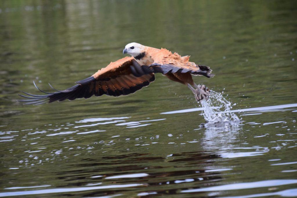 Pantanal 2020 - Vogel