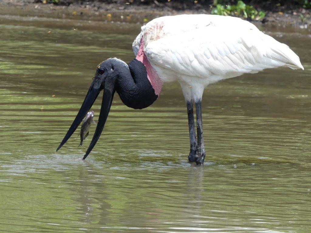 Pantanal 2020 - Vögel