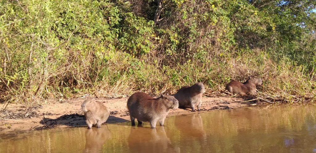 Pantanal 2020 - Capivaras