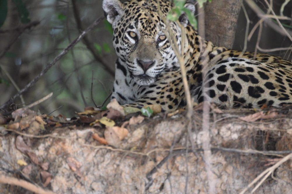 Pantanal 2020 - Jaguar